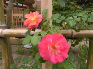 つるバラ 春風