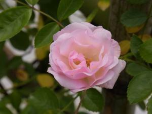 つるバラ 春がすみ