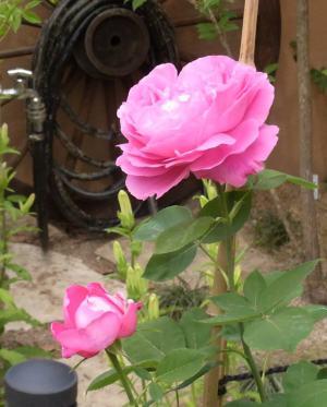 大きな花、素敵な香り ポール・ネイロン