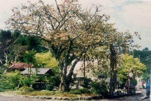 1996年4月 工事前年の開花状況