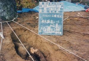 盛り土の下、幹近くのこんな太い根まで腐朽していた。