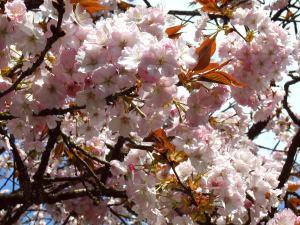 2000年5月1日 工事後3年目の開花