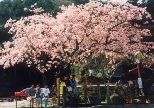 1998年4月、工事後2度目の開花
