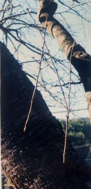 1998年12月 1年後の胴吹き芽