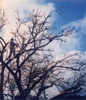 1998年12月 腐朽枝の剪定作業