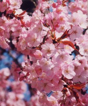 1997年4月 工事後初めての開花