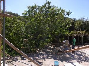 台風18号で倒れた、西山園舎の大クワ