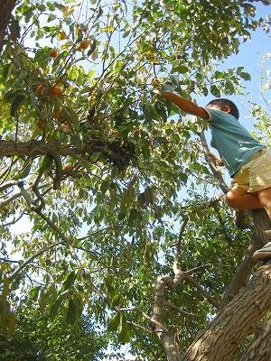 グミの木から柿を取る