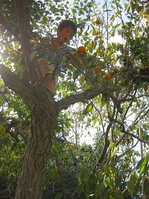 グミの木から柿を取る2