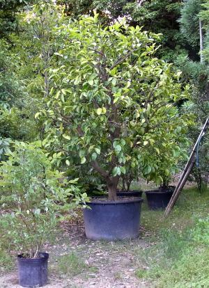 真冬の植栽を見越して、根回し、鉢上げ。樹高も2mに。