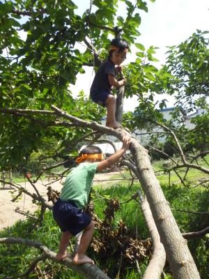 年少も登れる桑の木に