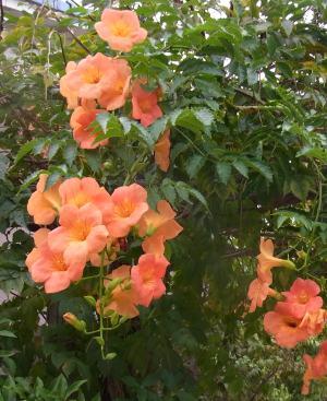 みつばち菜の花保育園のノウゼンカズラ