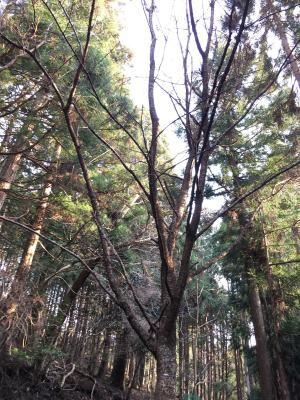植えた山桜は軽く10mを超えた。奥には朴の木も。