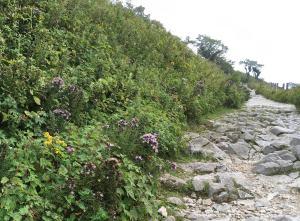 西登山道のアサギマダラ
